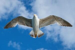 seagull-1511862__340
